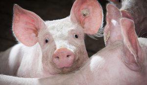 HappyCobs Beschäftigung für Schweine Bröring Futtermittel